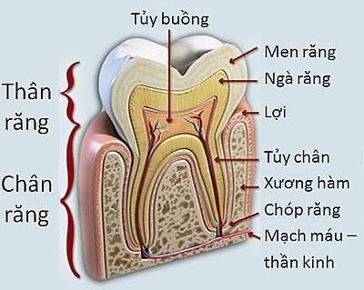 Cấu tạo của răng và quá trình hình thành sâu răng 1